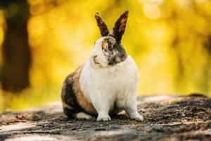 Calippo Holländsk kanin